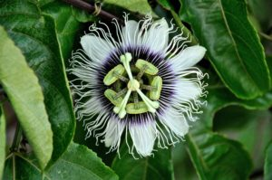 MWay productions | Bezinning | Passiflora